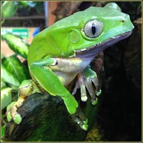 浄化の儀式のカンボのカエルはフタイロネコメカエル