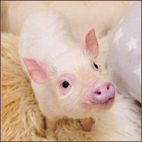 マイクロブタをペットにするには?飼育には許可が必要なのか調査!