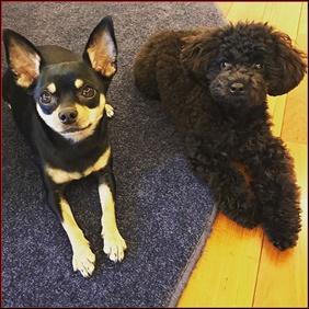 渡辺満里奈の愛犬は?犬種や名前・性格や大きさなどの情報まとめ!