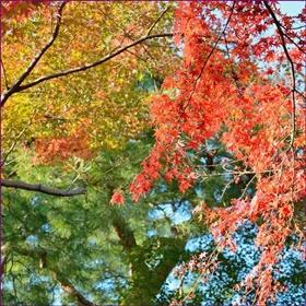 紅葉する木としない木の違いは?色素の種類や気象条件を徹底解説!